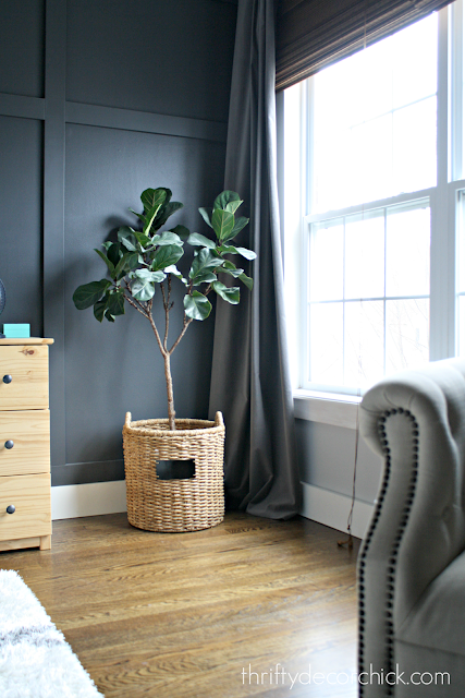 how to keep fiddle leaf plant alive