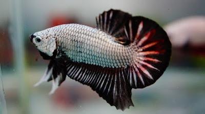 Ikan Cupang Plakat - Cara Budidaya Ikan Cupang