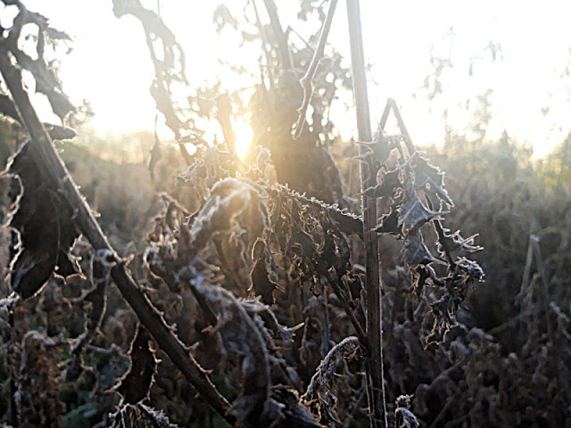Sunshine through frosted thistle stalks