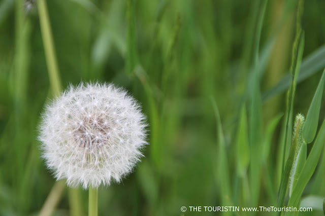 Close-up of a dandelion seed head in front of blurry bright green grass background.