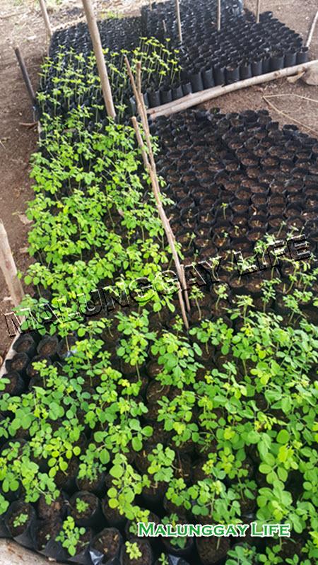 moringa-farm-moringa-seedling
