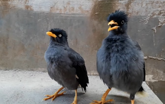 Makanan Burung Jalak Kebo