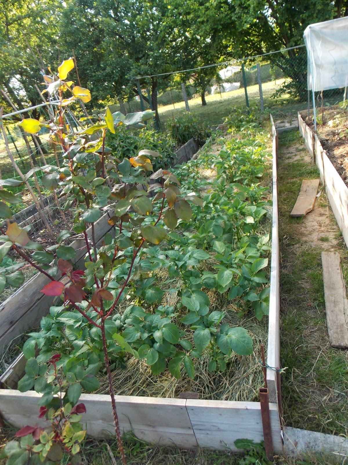 ecolo bio nature permaculture urbaine et jardinage bio des pommes de terre un peu trop. Black Bedroom Furniture Sets. Home Design Ideas