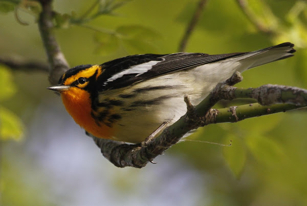 The blackburnian warbler