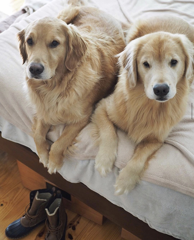 Golden Retrievers boots