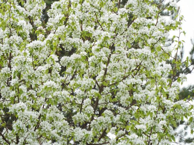 white flowering apple tree