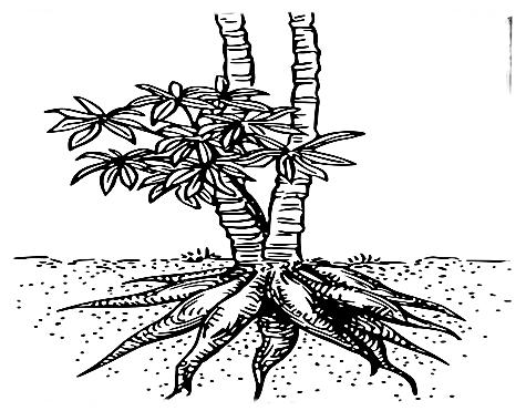 Ciri-ciri tanaman Singkong
