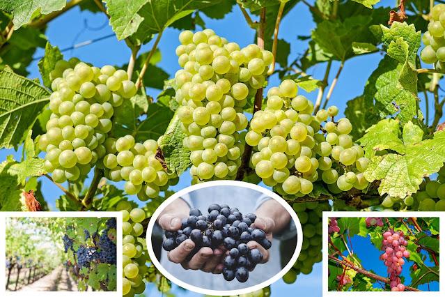 buah anggur sangat bermanfaat
