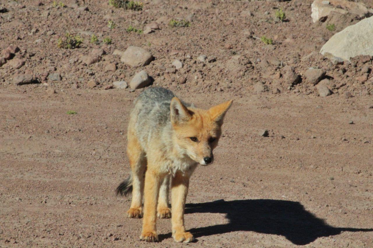 Raposa do Deserto do Atacama.