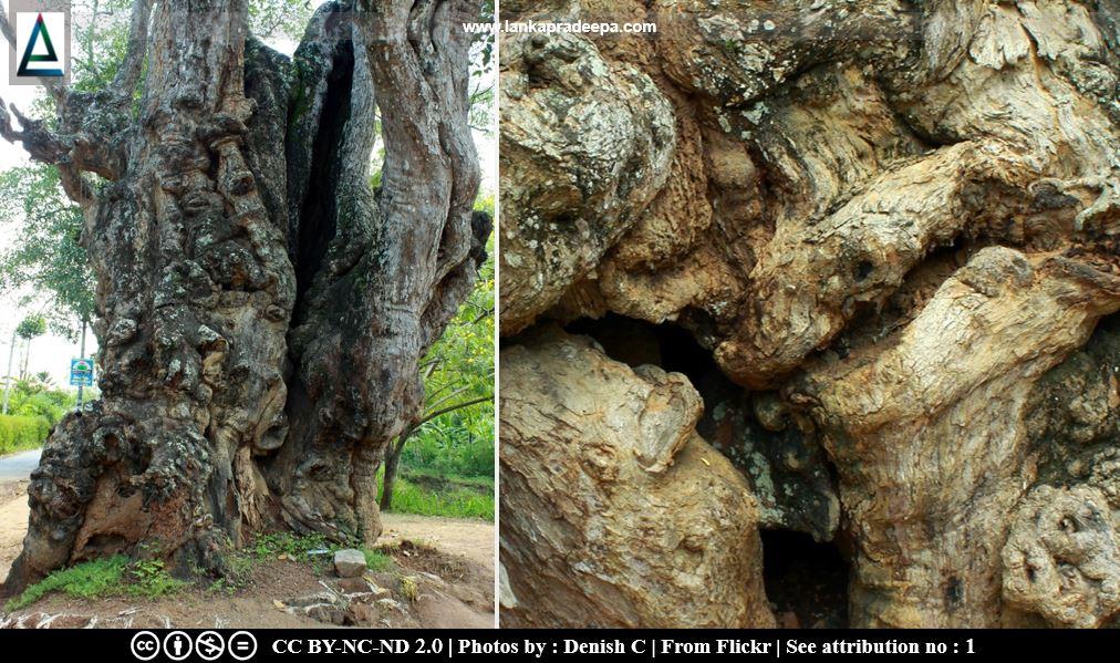Pilawala Tamarind Tree