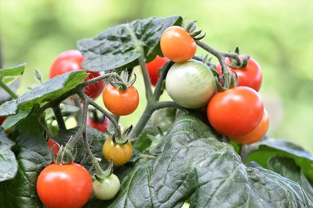 Les Variétés de la tomate