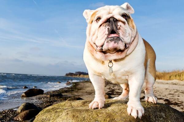 Perro Bulldog Inglés