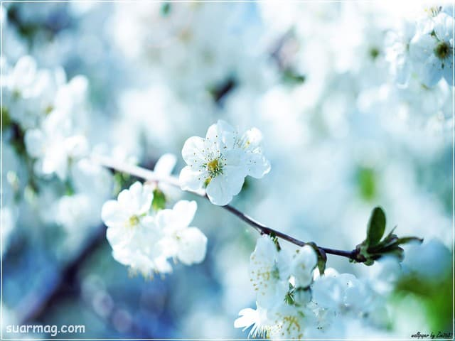 صور خلفيات - خلفيات ورد 2   Wallpapers - Flowers backgrounds 2