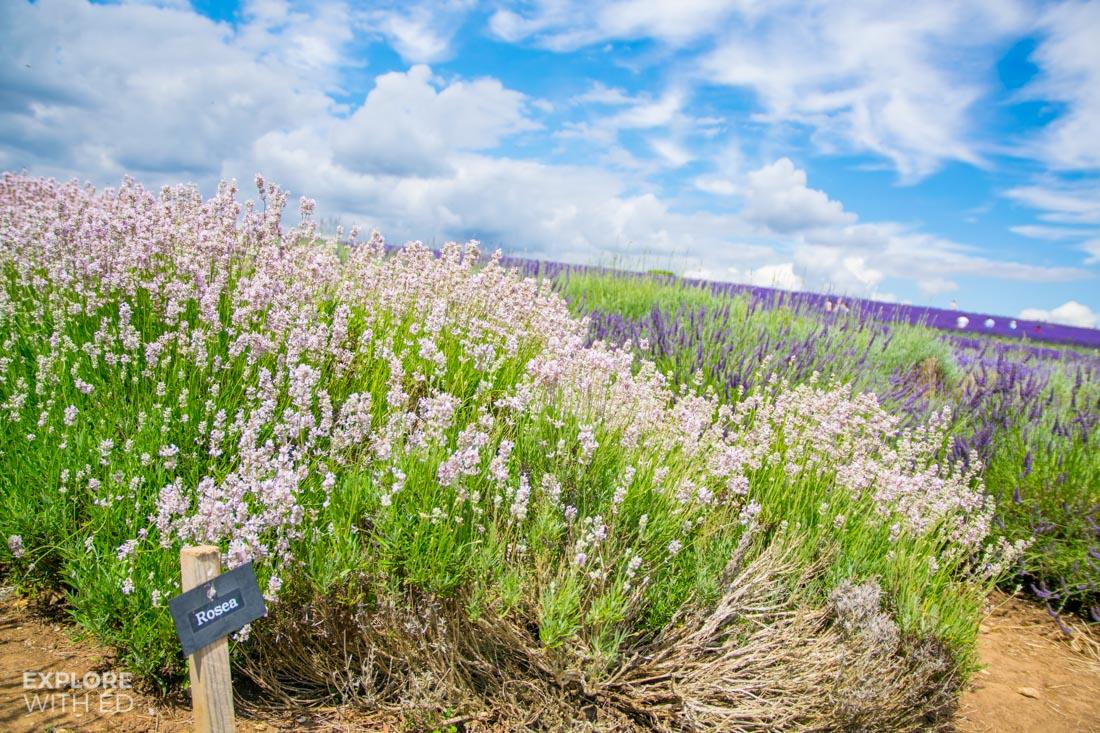 Rosea lavender at Cotswold Lavender Farm