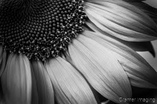 Cramer Imaging's fine art nature black and monochrome photograph of part of a sunflower in black and white