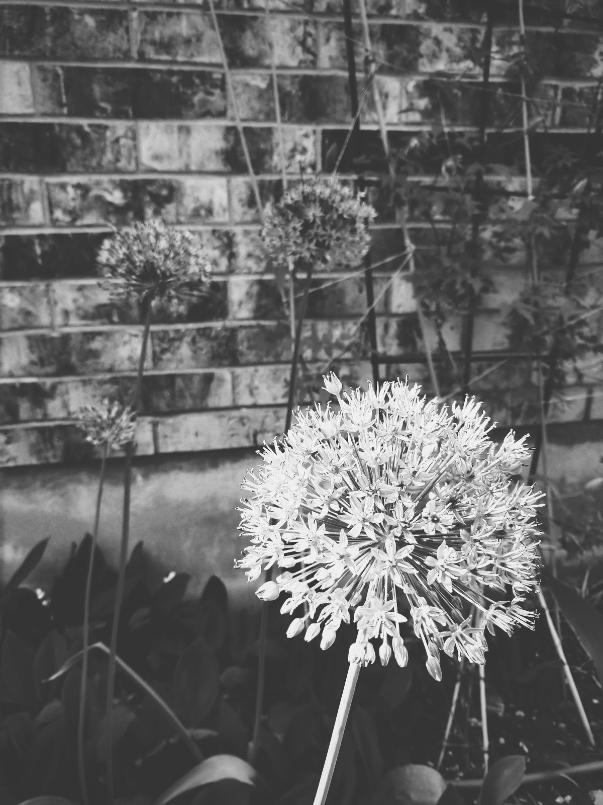 allium // life in black & white series // www.thejoyblog.net