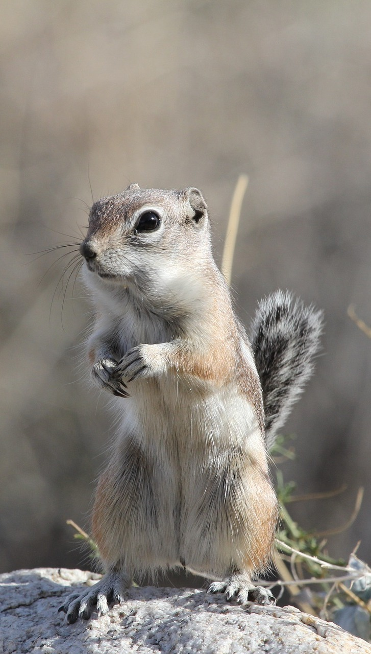 Picture of a desert squirrel.