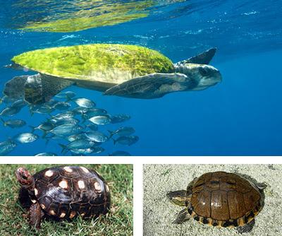 Tartarugas - características e Espécies de Tartarugas