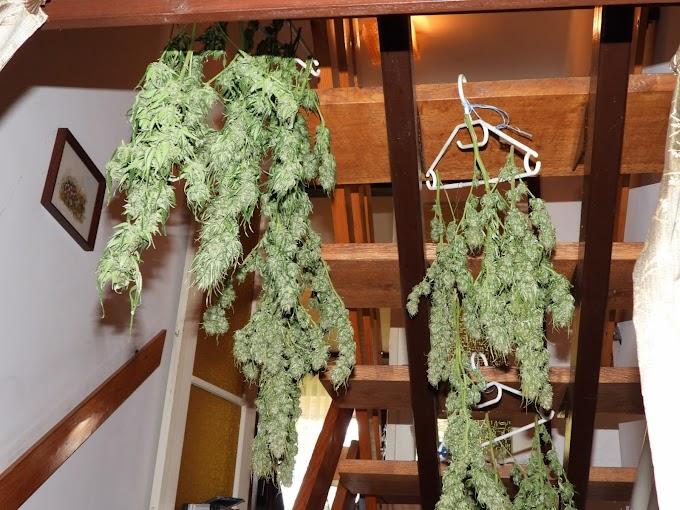 Anya és lánya együtt termesztette a marihuánát Püspökladányban (videó)