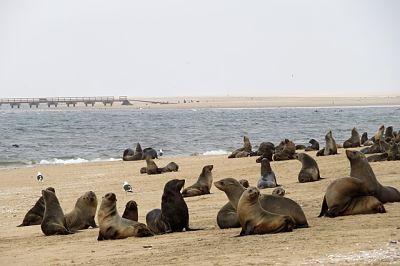 Grupo de lobos marinos en la playa, sobre la arena. A lo lejos se ve un muelle.