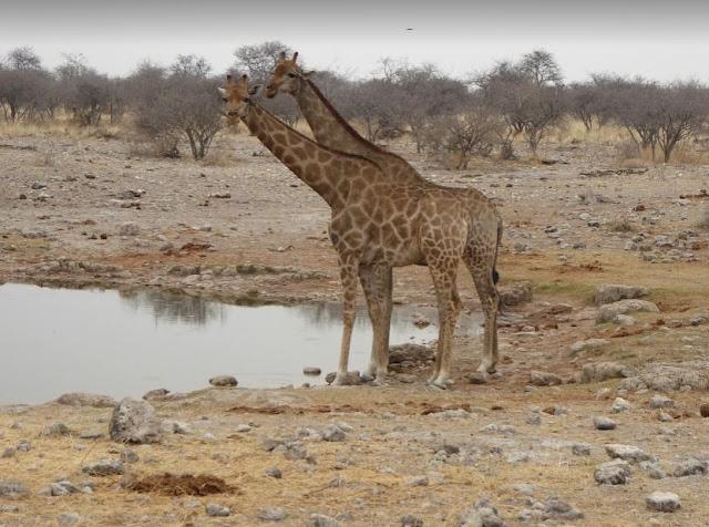 giraffe all'etosha