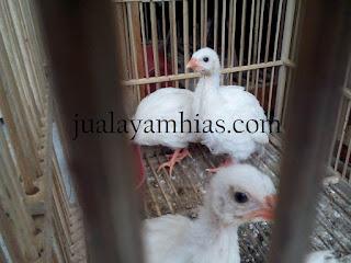 Ayam Mutiara Putih Usia 1 Bulan
