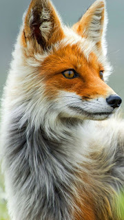 Fox Colorful Mobile HD Wallpaper
