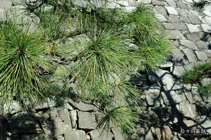 Branches de pins sur fond de muraille, Château de Fukuyama, Hiroshima-ken