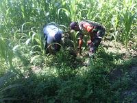 Dukung Upsus,Babinsa koramil 19/ND Dampingi Petani Merawat Tanaman Jagung