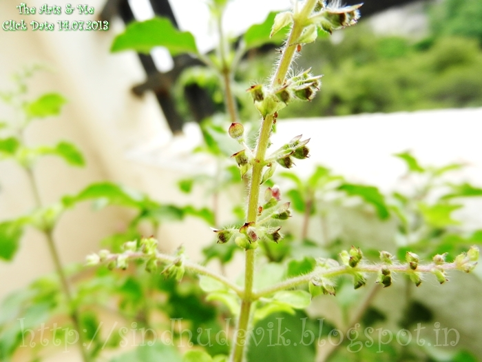 Raam TuLasi/holy basil with lavender coloured flower buds ready to blossom