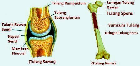 Penjelasan Tulang Rawan dan Tulang Keras