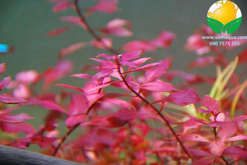 Phụ kiện thủy sinh - cây Tân Đế Tài Hồng