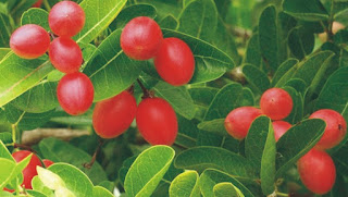 करौंदे स्वास्थ्य के लिए बहुत लाभकारी in hindi, Gooseberries are very beneficial for health in hindi, करौंदे से किडनी स्टोन  की समस्या दूर in hindi, The problem of kidney stone goes away with cranberry in hindi,करौंदा के औषधीय गुण in hindi, Medicinal properties of cranberry in hindi, Cranberry is one of the most nutritious fruits whose scientific name is Oxycoccus. in hindi, करौंदा- Karonda in hindi, (क्रैनबेरी-Cranberry in hindi,) karonda cherry in hindi, karonda  ke barein mein hindi, karonda cherry benefits in hindi, Karanda Quick Facts in hindi, What is Karonda cherry? in hindi, Is Karonda same as cranberry? in hindi, karonda benefits for skin in hindi, karonda ke fayde in hindi, karonda ke gun in hindi, karonda ke patte ke fayde in hindi, karonda khane se kya hota hai in hindi, karonda image, karonda pdf in hindi, karonda pdf artcile in hindi, karonda jpeg, karonda jpg,karonda, karonda gif, karonda pdf, karonda for health in hindi,karonda health benefits in hindi, Karanda facts and health benefits in hindi, Karonda fruit  in hindi, Nutrition facts-Karonda fruit Health benefits in hindi,  sakshambano ka matlab in hindi सक्षम, sakshambano in hindi, sakshambano in eglish, sakshambano meaning in hindi, sakshambano in hindi, sakshambano ka matlab in hindi, sakshambano photo, sakshambano photo in hindi, sakshambano image in hindi, sakshambano image, sakshambano jpeg, sakshambano site in hindi, sakshambano wibsite in hindi, sakshambano website, sakshambano india in hindi, sakshambano desh in hindi, sakshambano ka mission hin hindi, sakshambano ka lakshya kya hai,  sakshambano ki pahchan in hindi,  sakshambano brand in hindi,  sakshambano company in hindi,  sakshambano author in hindi,  sakshambano kiska hai hindi,