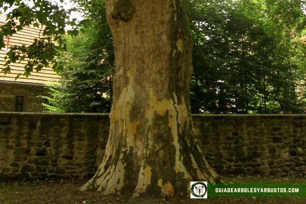 El plátano, Platanus hispanica, es un árbol muy robusto con una copa muy amplia ovalado con la ramificación abierta