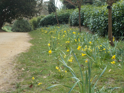 Rough ground Daffodils Garden problems solved Kingston Lacy Green Fingered Blog