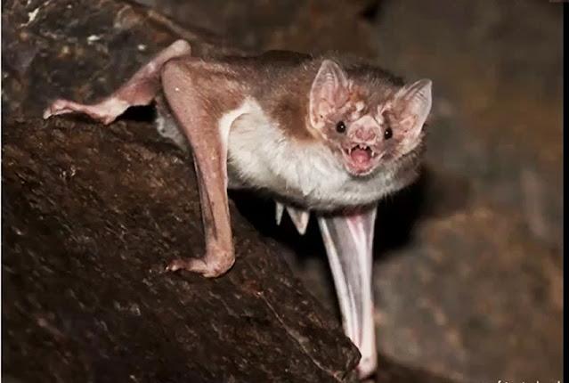 ¿Covid?, somos inocentes: los murciélagos
