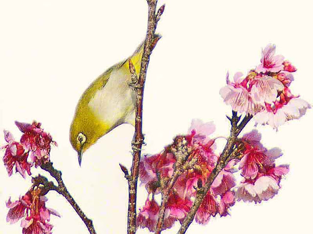 Japanese White Eye, bird, cherry blossoms