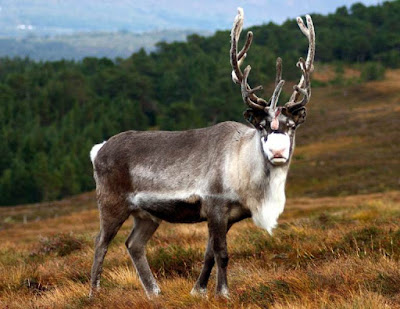 Reindeer - Animals Starting With Letter R
