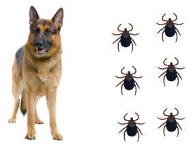 Atrevete a eliminar las garrapatas en perros naturalmente - Como quitar los pelos de perro de la ropa ...