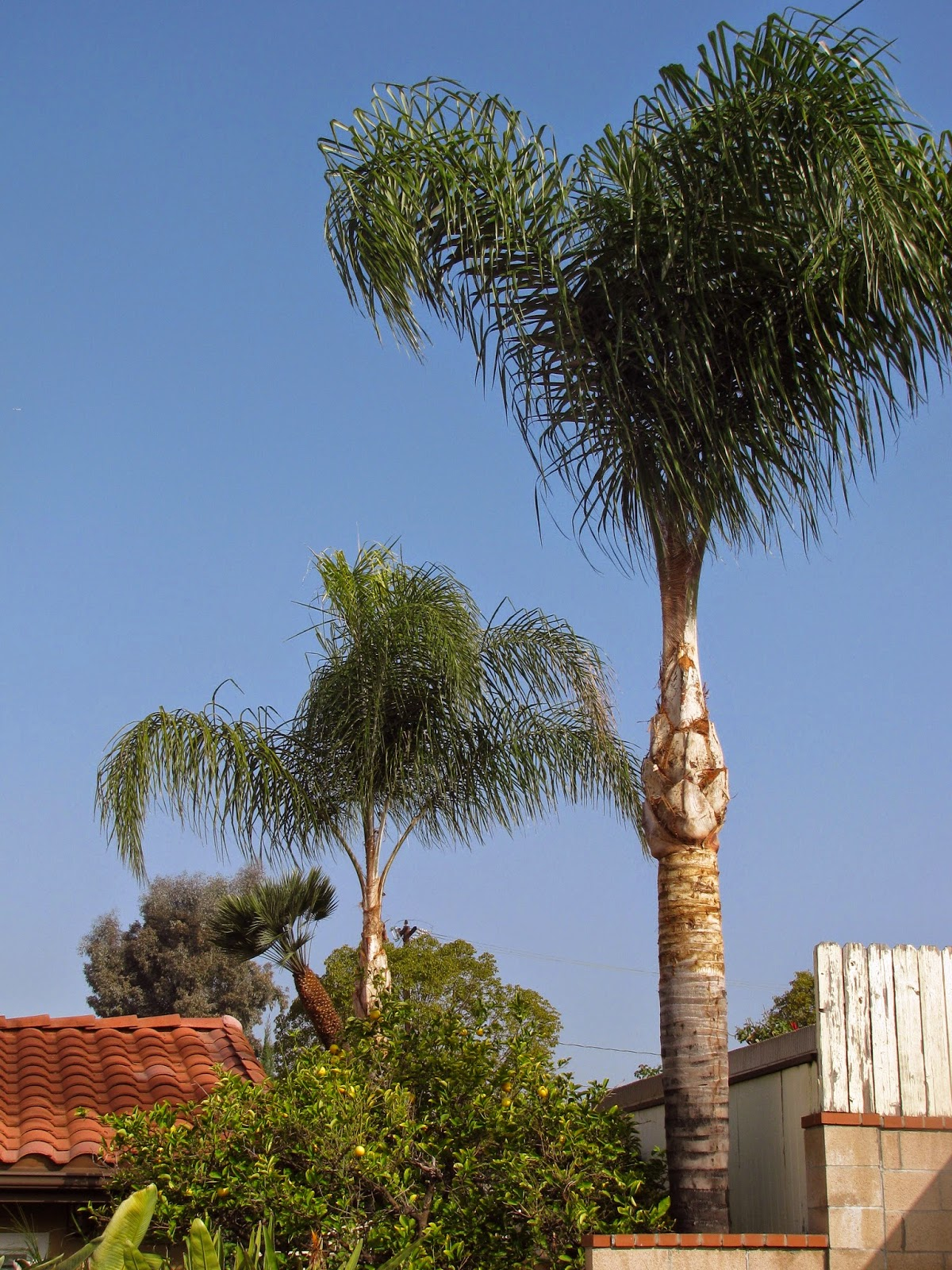 My palm tree in Southern California/Meine Palme in Südkalifornien