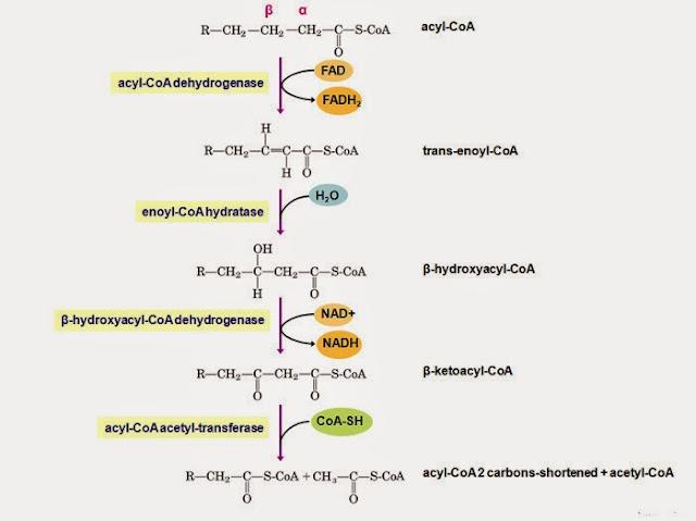 reaksi beta oksidasi