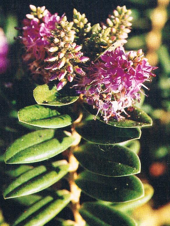 Arbustosensevilla encinarosa hebe hebe x andersonii for Hebe arbusto