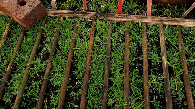Wooden bars between which carrots are supposed to grow but where grass is growing instead.
