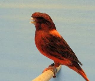 Burung Kenari Color Brid - Mengenal Burung Kenari Color Brid - Solusi Penangkaran Burung Kenari