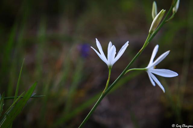 Phalangères à fleurs de Lis (Anthericum liliago), Trois Pignons, Fontainebleau.