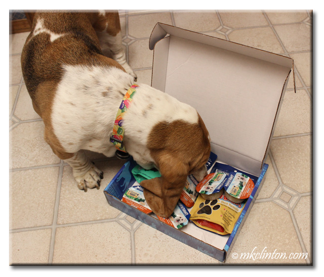 Bentley Basset looking in a box of Natural Balance treats