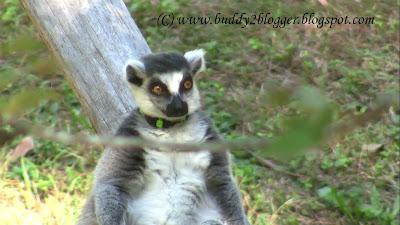 Lemur poster image picture