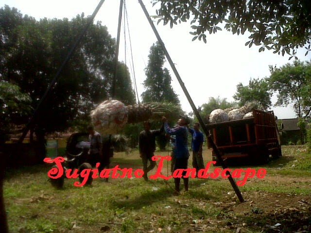 Pohon-korma-jual-pohon-kurma-di-jakarta-bogor-tanggerang-depok-bekasi