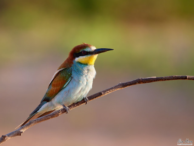 Bee-Eater Before Sunset