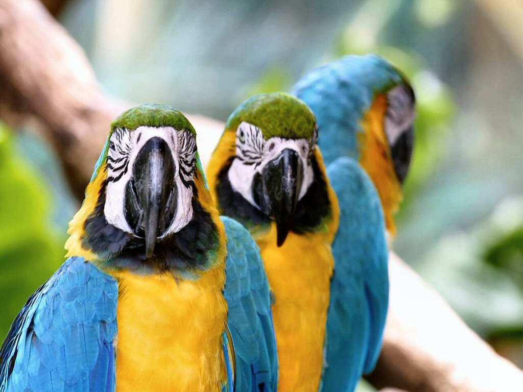 رومانسية parrots-03.jpg
